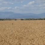 campo di grano aziendale
